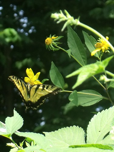 tiger swallowtail on woodland sunflower