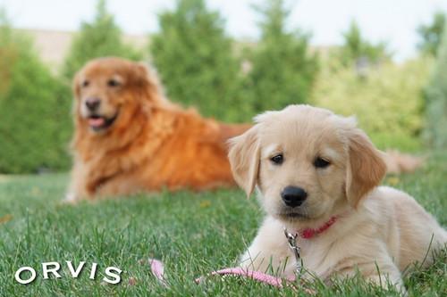 Orvis Cover Dog Contest - Lakota and Nikki
