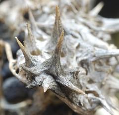 seadbox of a devil's trumpet (René Mouton) Tags: plant datura moonflower thornapple jimsonweed locoweed devilsweed stinkweed zaaddoos devilstrumpet doornappel daturastramonium jamestownweed zaden tolguacha flickrchallengegroup flickrchallengewinner