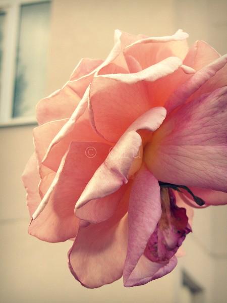 Soi(e) Rose