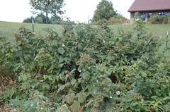"Raspberries Again <a style=""margin-left:10px; font-size:0.8em;"" href=""http://www.flickr.com/photos/91915217@N00/4994640129/"" target=""_blank"">@flickr</a>"