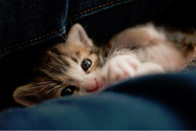 cute rescued tabby kitten hiding