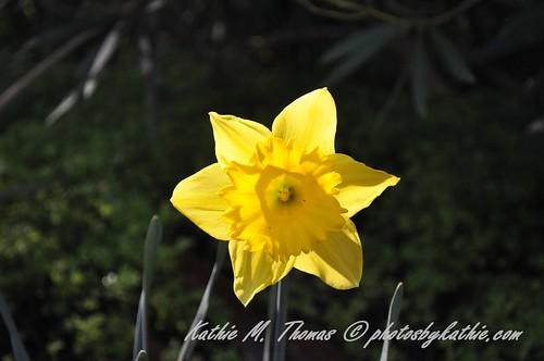 Star shaped Daffodil