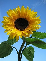 Sunflower in my garden (Katie-Rose) Tags: leaves yellow garden bluesky sunflower blogged mygarden sunflowerseeds explored grownfromseed fbdg