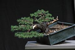 Spruce 9-18-10 on black (OpenEye) Tags: tree mike training ancient bonsai pollock spruce collaboration yamadori coloradospruce ryanneil pollockmichael