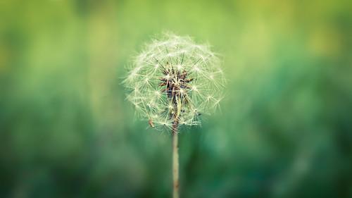 フリー写真素材, 花・植物, キク科, タンポポ, 種子, グリーン,