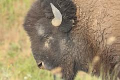 em_0047 (alpinebob2001) Tags: moiesemontana nationalbuffalorange americanbision