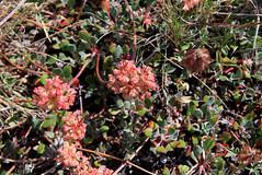 Sulphur Buckwheat (Eriogonum umbellatum dichrocephalum) (Arboreal Boids) Tags: pink flower oregon eriogonum polygonaceae wildflower buckwheat harneycounty steensmountains sulphurbuckwheat eriogonumumbellatumdichrocephalum
