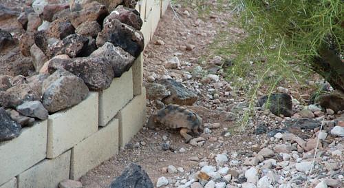 trapped desert tortoise