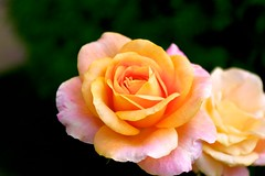 Rose in a backyard of a hotel (Go 4 IT) Tags: flowers nature beautiful holy 365 amateur creations rosepetal beautifulflowers photohobby kitlenses flickraward colourartawards beautifulshot flickrsawesomeblossoms awesomeblossoms amazingdetails holycreationsofnature pentaxk7 mygearandme floralfantasygroup betterthangoodlevel1 photohobbylevel1 beautifulisboringgroup evghenitirulnic