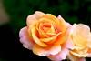 Rose (Go 4 IT) Tags: flowers nature beautiful holy 365 amateur creations rosepetal beautifulflowers photohobby kitlenses flickraward colourartawards ★beautifulshot★ flickrsawesomeblossoms awesomeblossoms amazingdetails holycreationsofnature pentaxk7 mygearandme floralfantasygroup betterthangoodlevel1 photohobbylevel1 beautifulisboringgroup evghenitirulnic