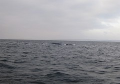 Blue Whale cresting