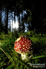 yet another mushroom (Chris Knoch) Tags: wood sky sun mushroom backlight himmel sonne wald pilz fliegenpilz gegenlicht