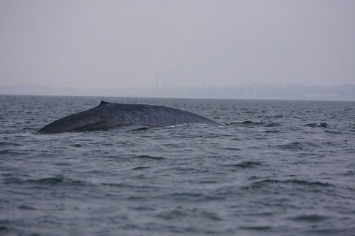 Whale Cresting off Redondo Beach