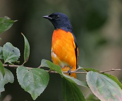 4 days in South India: Orange Minivet male (spiderhunters) Tags: kerala westernghats munnar birdsofindia pericrocotusflammeus orangeminivet