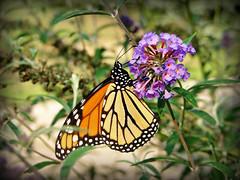 Monarch Butterfly on Butterfly Bush (Truebritgal) Tags: pink flowers orange white black flower macro nature up closeup yard butterfly insect bush backyard dof close purple spots monarch butterflybush monarchbutterfly top2020 truebritgal