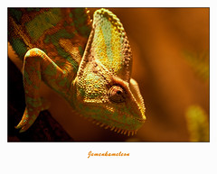 IMG_6024-2 (Arie van Tilborg) Tags: zoo blijdorp kameleon reptielen rotterdamzoo jemen jemenkameleon arievantilborg