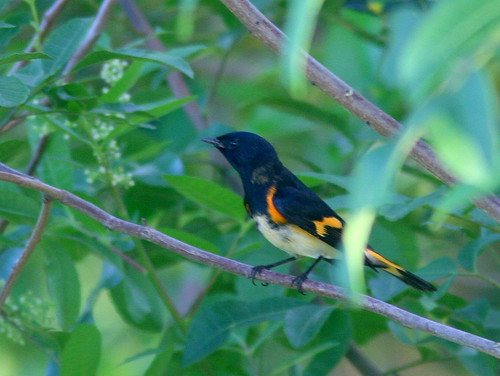 American Redstart male 20100926