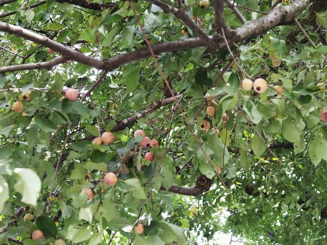 ripening persimmons