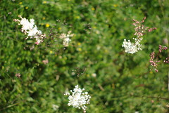 From above the flowers. (Nemokasp) Tags: flower macro up grass close nemokasp