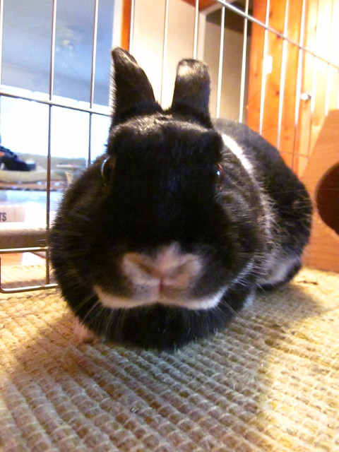 My little Oreo cookie bunny.