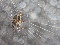Autumn Spider (aerial2) Tags: bokeh spiders arachnids highlight webs