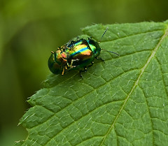 Iridescent Party (NatashaP) Tags: macro green shiny insects bugs explore iridescent coupling interestingness201