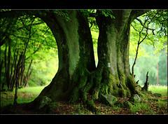 Drakamöllan (Ulf Bodin) Tags: tree skåne sweden bok beech scania idream canonef85mmf12liiusm canoneos5dmarkii thesecretlifeoftrees drakamöllan