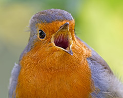 In your face (Andrew Haynes Wildlife Images ( away for a while )) Tags: bird nature robin wildlife coventry warwickshire brandonmarsh canon7d ajh2008