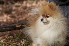 Peanut on trail (bontakun) Tags: dog pet leave forest pom trail peanut pomeranian