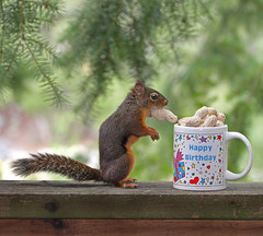 Happy Birthday, You Nut! (Peggy Collins) Tags: canada cute nature coffee interestingness backyard squirrel funny tea britishcolumbia wildlife peanuts explore happybirthday mug pacificnorthwest coffeemug squiggy penderharbour sunshinecoast backdeck douglassquirrel canadiangeographic peggycollins funnysquirrelpicture
