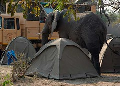 Lufupa Elephant #2