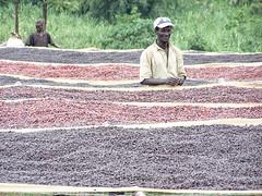 Vari stadi di essicatura del caff al sole (altromercato) Tags: mostra fair lands fotografica altromercato