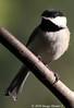 Black-capped Chickadee (Image Hunter 1) Tags: nature birds louisiana branch bayou chickadee swamp perch perched marsh blackcappedchickadee birdslouisiana bayoucourtableau canont2i