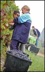DSC_0085 (marco minnucci) Tags: vineyard wine harvest piemonte marco vin uva cantina piedmont cellar grape vino wein vendemmia asti vigna costiglioledasti minnucci