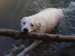 Coda (halseike) Tags: dog white water log stick fetch swimmig