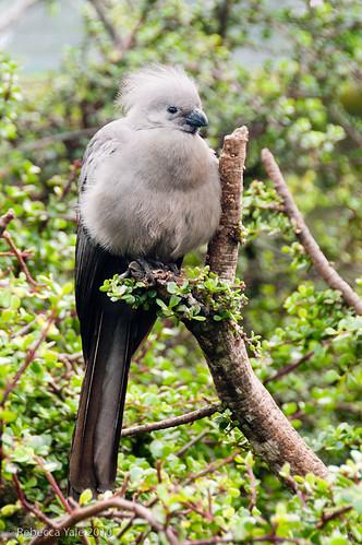 RYALE_African_Dawn_Birds_36