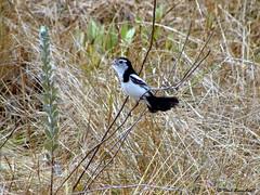 Galito (Alectrurus tricolor) (daviuberabalsc) Tags: aves da serra canastra