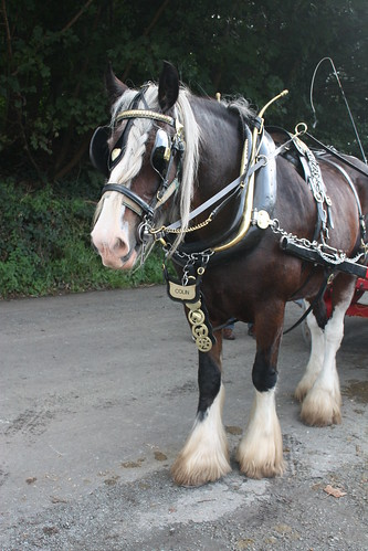 Colin the horse in harness 1