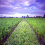Rice Field again