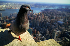 Empire State Building Pigeon (morten almqvist) Tags: new york city panorama building skyscraper view state pigeon sigma empire height dp1 dp1s sigma50th