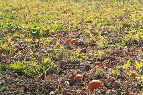 Pumpkin Patch at Capay Organics