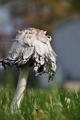 (StephenZacharias) Tags: canada grass mushrooms stem winnipeg bokeh manitoba cap toadstool stipe pileus gills top5 sporeprint potofgold basidiomycetes lamella 64782 fungusfungi basidiospores sporebearing photovotr jmg2010 st