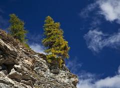Larch near Fimberpas @ fall, Swiss Alps. (Richard Verroen) Tags: trees mountains alps fall clouds switzerland bomen swiss herfst wolken bergen larch zwitserland graubnden lariks graubunden verroen richardverroen