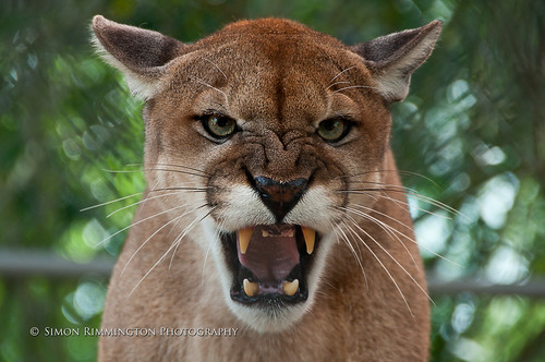 Apache the Florida Panther