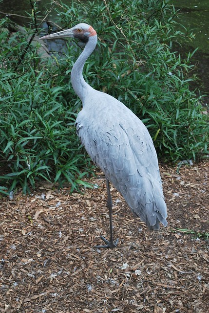 Olga the Brolga?