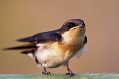When is she coming back...? (gerdavs) Tags: southafrica wildlife swallow krugernationalpark wiretailedswallow hirundosmithii draadstertswael swaeltjie birdperfect knp2010
