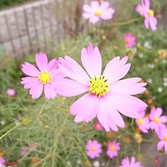 / Cosmos bipinnatus (hanatomosan) Tags: gr