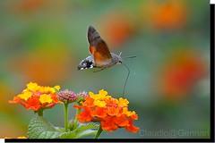 "...""Color""... (Claudio Gennari ...""Cogli l'attimo ferma il tempo"") Tags: flowers rome color macro nature insect hummingbird hawk moth detalis macrolife nikond3 onlythebestofnature claudiogennari200f4macro"
