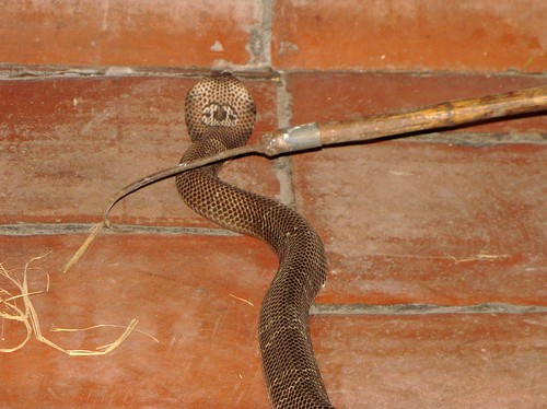 Le Mat Snake Village - King Cobra On The Loose